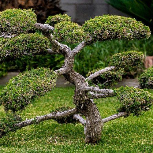 bonsai-1503108_640